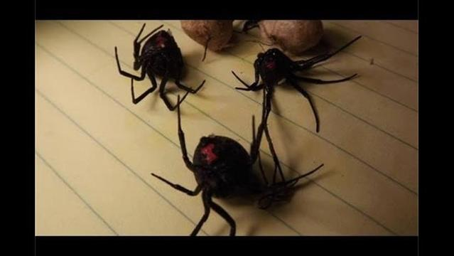 Living with nature: This is why you want to avoid black widow spider bites